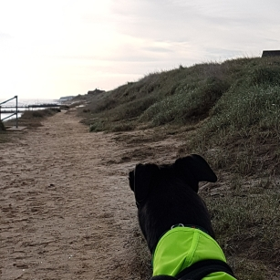 Greyound Sherky with high vis coat between Bacton and Walcott on a path along the dunes